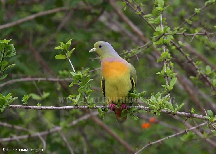 ceylon bird club birds of sri lanka sri lankan birds